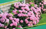 Как правильно выращивать лилии на дачном участке?