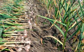 Сколько лет можно выращивать чеснок на одном месте