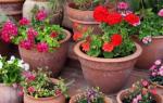 Какие многолетние цветы можно выращивать в горшках на улице?