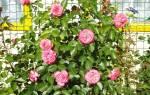 Морозостойкие розы для Сибири