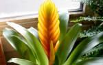 Цветы вриезия выращивание в домашних условиях в какой почве выращивать