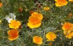 Эшшольция посадка и уход в открытом грунте весной