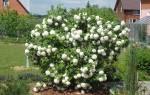 Калина Бульденеж: как выглядит растение, описание вида