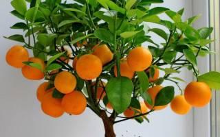 Комнатный мандарин уход в домашних условиях