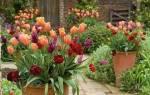 Как выращивать тюльпаны на даче и как за ней ухаживать?