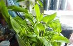 Как выращивать щавель в домашних условиях зимой?