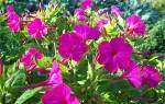 Цветок ночная красавица как выращивать в домашних условиях