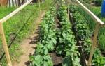 Как подготовить грунт для посадки огурцов в открытый грунт в?