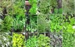 Какие полезные травы можно выращивать на огороде?