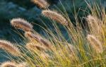 Злаковые растения в ландшафтном дизайне