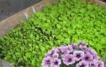 Как выращивать петунию в домашних условиях?