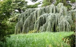 Плакучие деревья для сада