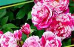 Сухое укрытие роз на зиму