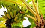 Выращивать банан в домашних условиях