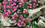 Роза почвопокровная лучшие сорта