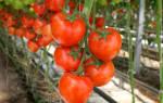 Какие сорта помидоров лучше выращивать в теплицах?