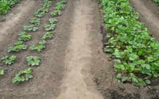 Как правильно выращивать викторию и как за ней ухаживать?