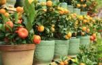 Как в домашних условиях выращивать кумкват?