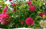 Укрывание роз на зиму