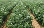 Урожайные сорта картофеля для средней полосы