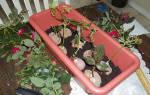 Как правильно выращивать розы из черенков в домашних условиях?
