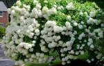 Гортензия садовая посадка и уход в открытом грунте обрезка весной