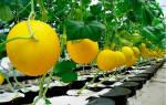 Преимущество выращивания дыни в теплице из поликарбоната