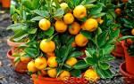 Можно ли вырастить мандарин из косточки в домашних условиях