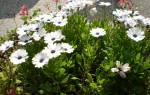 Можно ли выращивать остеоспермум дома на подоконнике?