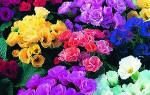 Цветы однолетники для сада неприхотливые долгоцветущие