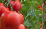 Как выращивать дыню в домашних условиях?