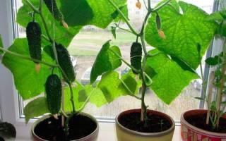 Какие сорта огурцов можно выращивать на подоконнике дома?