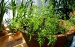 Как выращивать укроп из семян в домашних условиях?