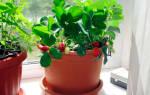 Какую клубнику можно выращивать на подоконнике круглый год?