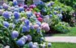 Гортензия садовая посадка и уход в открытом грунте виды